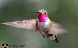 I colibrì vedono colori che noi possiamo solo immaginare