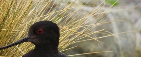 Torna a crescere il numero dei kaki, uccelli amati dai Maori e fra i più rari al mondo