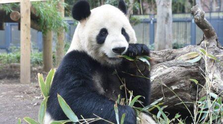 Pazzi per i panda – Xiang Xiang torna in Cina e i giapponesi si disperano.