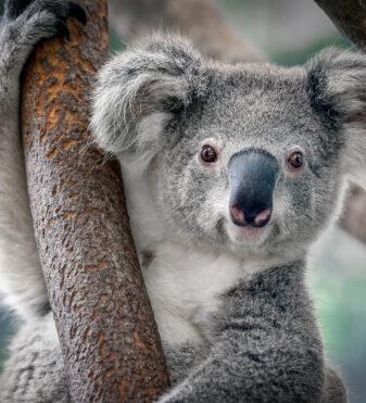 Koala a rischio d'estinzione